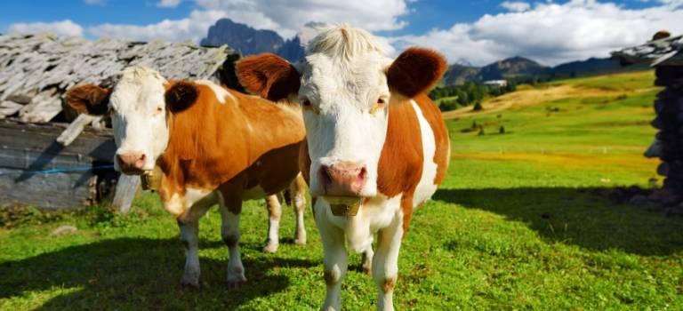 Zwei braun-weiße Kühe auf einer Almwiese.